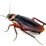 Annual Service Australian cockroach